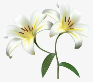 White Lily Png Transparent White Lily Png Image Free Download Pngkey
