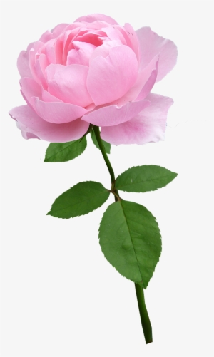 Pink Rose Png Transparent Pink Rose Png Image Free Download Pngkey