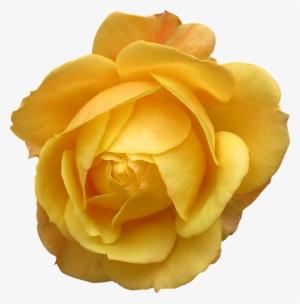 Yellow Rose Png Transparent Yellow Rose Png Image Free Download
