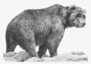 1d800e3e641 Grizzly Bear  2645117