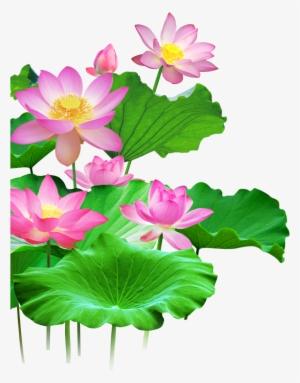 6cd5fbb125871 Mq Lotus Flower Flowers Pink Waters Green Leaf - Лотос Пнг  2804687